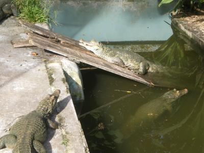 Reptiles - Caïman de Quistococha